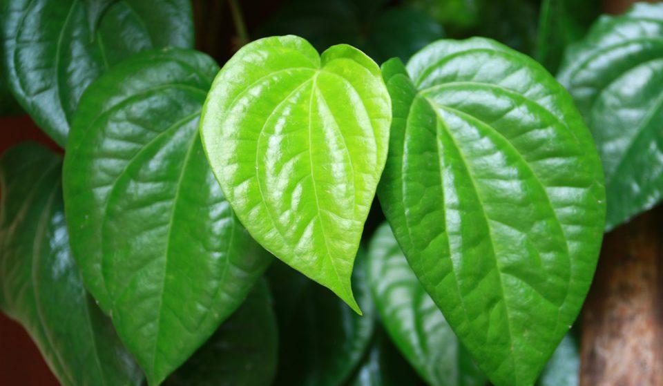 manfaat daun sirih untuk miss v